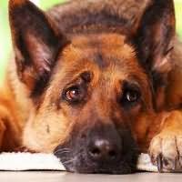 видеть во сне большую собаку женщине