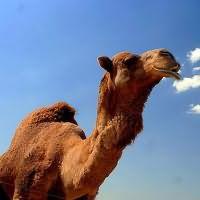 видеть во сне верблюда