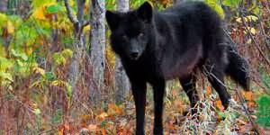 к чему снится черная волчица