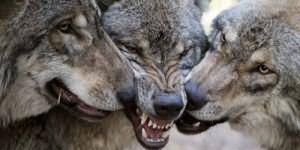 сонник волки