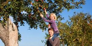 рвать красные яблоки на дереве