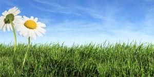 сонник зеленая трава