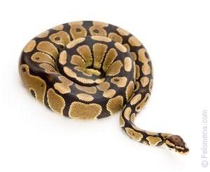 спящая Змея по соннику